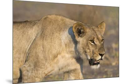 A lioness (Panthera leo) walking, Savuti marsh, Chobe National Park, Botswana, Africa-Sergio Pitamitz-Mounted Photographic Print