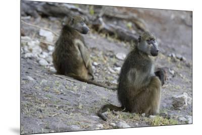 Two chacma baboons (Papio ursinus), Chobe National Park, Botswana, Africa-Sergio Pitamitz-Mounted Photographic Print