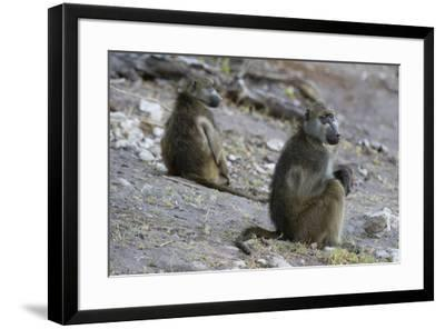 Two chacma baboons (Papio ursinus), Chobe National Park, Botswana, Africa-Sergio Pitamitz-Framed Photographic Print