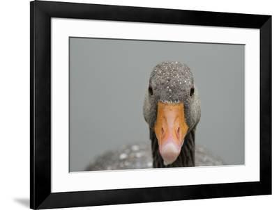 Greylag goose (Anser anser), United Kingdom, Europe-Janette Hill-Framed Photographic Print
