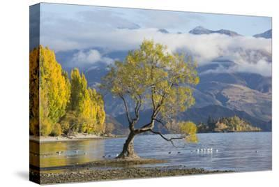 Lone willow tree growing at the edge of Lake Wanaka, autumn, Roys Bay, Wanaka, Queenstown-Lakes dis-Ruth Tomlinson-Stretched Canvas Print