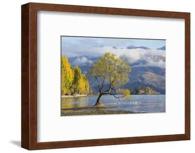 Lone willow tree growing at the edge of Lake Wanaka, autumn, Roys Bay, Wanaka, Queenstown-Lakes dis-Ruth Tomlinson-Framed Photographic Print