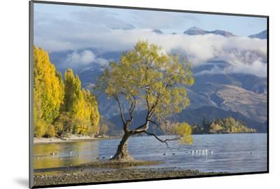 Lone willow tree growing at the edge of Lake Wanaka, autumn, Roys Bay, Wanaka, Queenstown-Lakes dis-Ruth Tomlinson-Mounted Photographic Print
