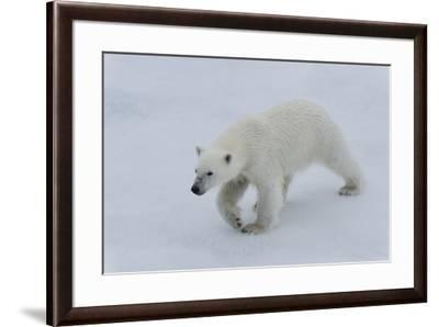 Polar bear cub (Ursus maritimus) walking on a melting ice floe, Spitsbergen Island, Svalbard archip-G&M Therin-Weise-Framed Photographic Print