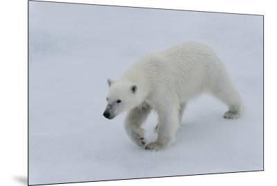 Polar bear cub (Ursus maritimus) walking on a melting ice floe, Spitsbergen Island, Svalbard archip-G&M Therin-Weise-Mounted Photographic Print