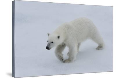 Polar bear cub (Ursus maritimus) walking on a melting ice floe, Spitsbergen Island, Svalbard archip-G&M Therin-Weise-Stretched Canvas Print