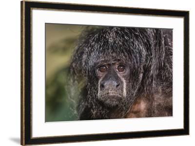 Captive adult Monk saki (Pithecia monachus), San Francisco Village, Loreto, Peru, South America-Michael Nolan-Framed Photographic Print