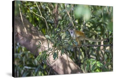 Adult common squirrel monkey (Saimiri sciureus), in the Pacaya-Samiria Nature Reserve, Loreto, Peru-Michael Nolan-Stretched Canvas Print