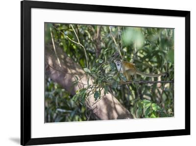 Adult common squirrel monkey (Saimiri sciureus), in the Pacaya-Samiria Nature Reserve, Loreto, Peru-Michael Nolan-Framed Photographic Print