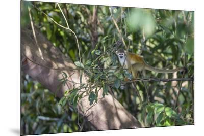 Adult common squirrel monkey (Saimiri sciureus), in the Pacaya-Samiria Nature Reserve, Loreto, Peru-Michael Nolan-Mounted Photographic Print