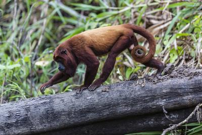 Adult red howler monkey (Alouatta seniculus), San Miguel Cao, Loreto, Peru, South America-Michael Nolan-Framed Photographic Print