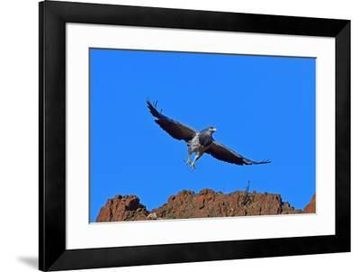 Black Chested Buzzard Eagle (Geranoates Melanoleucus), Patagonia, Chile, South America-Pablo Cersosimo-Framed Photographic Print