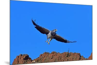 Black Chested Buzzard Eagle (Geranoates Melanoleucus), Patagonia, Chile, South America-Pablo Cersosimo-Mounted Photographic Print