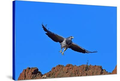 Black Chested Buzzard Eagle (Geranoates Melanoleucus), Patagonia, Chile, South America-Pablo Cersosimo-Stretched Canvas Print