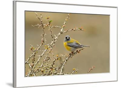 Patagonian Sierra Finch (Phrygilus patagonicus), Patagonia, Chile, South America-Pablo Cersosimo-Framed Photographic Print