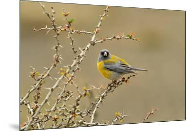 Patagonian Sierra Finch (Phrygilus patagonicus), Patagonia, Chile, South America-Pablo Cersosimo-Mounted Photographic Print