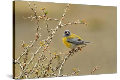 Patagonian Sierra Finch (Phrygilus patagonicus), Patagonia, Chile, South America-Pablo Cersosimo-Stretched Canvas Print