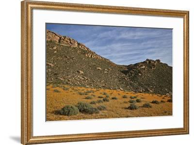 Field of Namaqualand daisy (Jakkalsblom) (Dimorphotheca sinuata), Namakwa, Namaqualand, South Afric-James Hager-Framed Photographic Print
