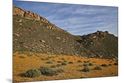 Field of Namaqualand daisy (Jakkalsblom) (Dimorphotheca sinuata), Namakwa, Namaqualand, South Afric-James Hager-Mounted Photographic Print