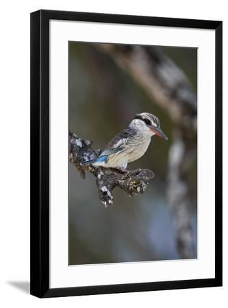 Striped kingfisher (Halcyon chelicuti), male, Selous Game Reserve, Tanzania, East Africa, Africa-James Hager-Framed Photographic Print