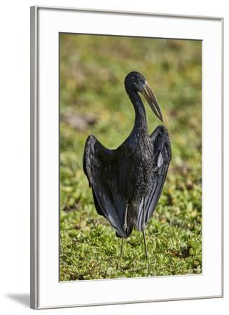 African open-billed stork (African openbill) (Anastomus lamelligerus), Selous Game Reserve, Tanzani-James Hager-Framed Photographic Print
