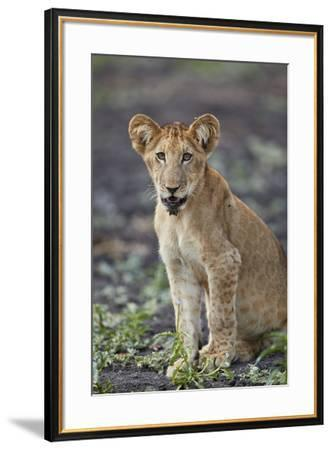 Lion (Panthera leo) cub, Selous Game Reserve, Tanzania, East Africa, Africa-James Hager-Framed Photographic Print