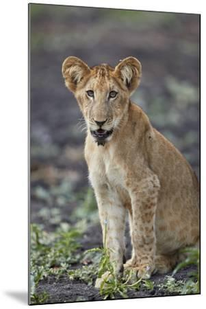 Lion (Panthera leo) cub, Selous Game Reserve, Tanzania, East Africa, Africa-James Hager-Mounted Photographic Print