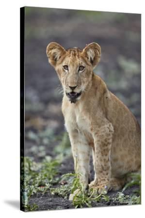 Lion (Panthera leo) cub, Selous Game Reserve, Tanzania, East Africa, Africa-James Hager-Stretched Canvas Print