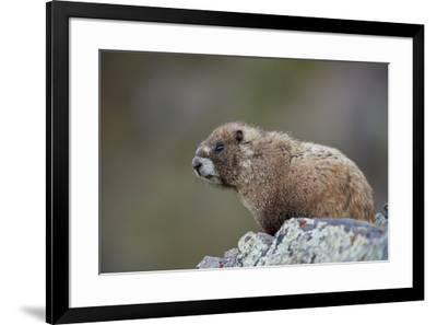 Yellow-bellied marmot (yellowbelly marmot) (Marmota flaviventris), San Juan National Forest, Colora-James Hager-Framed Photographic Print