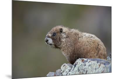 Yellow-bellied marmot (yellowbelly marmot) (Marmota flaviventris), San Juan National Forest, Colora-James Hager-Mounted Photographic Print