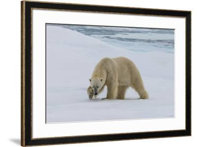 Male Polar bear (Ursus maritimus) walking on pack ice, Svalbard Archipelago, Barents Sea, Arctic, N-G&M Therin-Weise-Framed Photographic Print