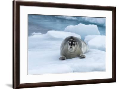 Bearded Seal (Erignathus barbatus) laying on pack ice, Spitsbergen Island, Svalbard Archipelago, Ar-G&M Therin-Weise-Framed Photographic Print