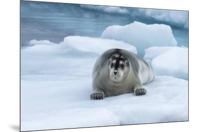 Bearded Seal (Erignathus barbatus) laying on pack ice, Spitsbergen Island, Svalbard Archipelago, Ar-G&M Therin-Weise-Mounted Photographic Print