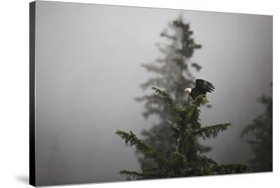 Bald eagle (Haliaeetus leucocephalus), Chugach National Forest, Alaska, United States of America, N-Ashley Morgan-Stretched Canvas Print