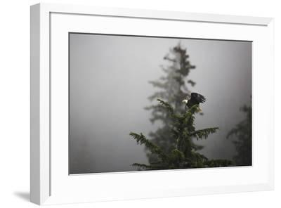 Bald eagle (Haliaeetus leucocephalus), Chugach National Forest, Alaska, United States of America, N-Ashley Morgan-Framed Photographic Print