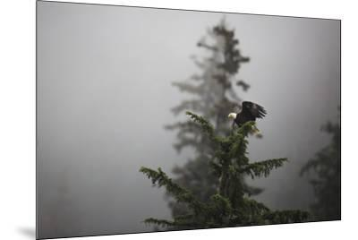 Bald eagle (Haliaeetus leucocephalus), Chugach National Forest, Alaska, United States of America, N-Ashley Morgan-Mounted Photographic Print