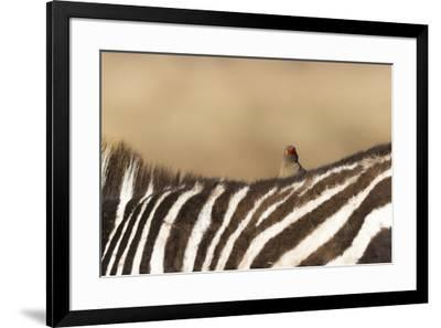 Red-billed oxpecker (Buphagus erythrorhynchus), Ngorongoro Conservation Area, Tanzania, East Africa-Ashley Morgan-Framed Photographic Print