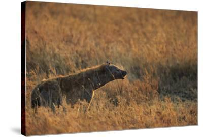 Spotted hyena (Crocuta crocuta), Serengeti National Park, Tanzania, East Africa, Africa-Ashley Morgan-Stretched Canvas Print