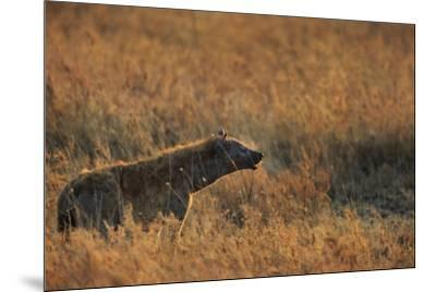 Spotted hyena (Crocuta crocuta), Serengeti National Park, Tanzania, East Africa, Africa-Ashley Morgan-Mounted Photographic Print