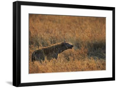 Spotted hyena (Crocuta crocuta), Serengeti National Park, Tanzania, East Africa, Africa-Ashley Morgan-Framed Photographic Print