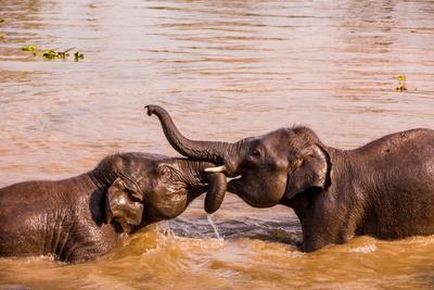 Baby elephants playing in the river, Chitwan Elephant Sanctuary, Nepal, Asia-Laura Grier-Framed Photographic Print