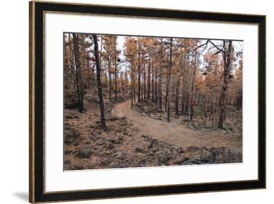 Burned Canary pine trees, La Palma Island, Canary Islands, Spain, Europe-Sergio Pitamitz-Framed Photographic Print
