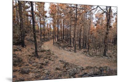 Burned Canary pine trees, La Palma Island, Canary Islands, Spain, Europe-Sergio Pitamitz-Mounted Photographic Print