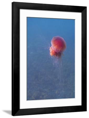 Lion's mane jellyfish (Cyanea capillata), Prince William Sound, Alaska, United States of America, N-Ashley Morgan-Framed Photographic Print