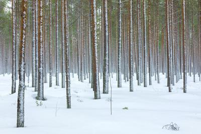Tree trunks in the snowy woods Alaniemi, Rovaniemi, Lapland region, Finland, Europe-Roberto Moiola-Framed Photographic Print