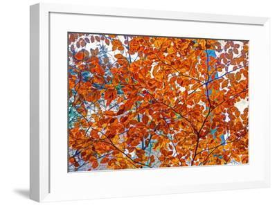Autumnal forest, Kastel-Staadt, Rhineland-Palatinate (Rheinland-Pfalz), Germany, Europe-Hans-Peter Merten-Framed Photographic Print