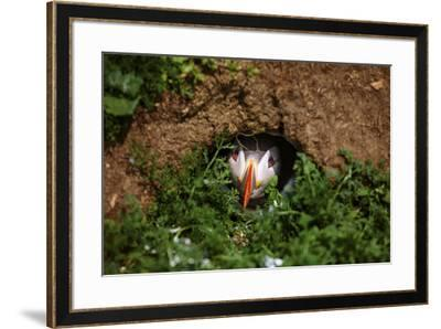 An Atlantic Puffin peers out from its burrow on Skomer Island, Wales, United Kingdom, Europe-David Rocaberti-Framed Photographic Print