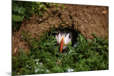 An Atlantic Puffin peers out from its burrow on Skomer Island, Wales, United Kingdom, Europe-David Rocaberti-Mounted Photographic Print