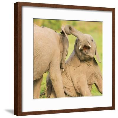 Elephant calves playing in the Masai Mara, Kenya, East Africa, Africa-Karen Deakin-Framed Photographic Print