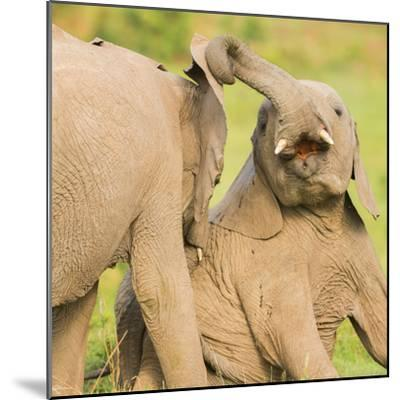 Elephant calves playing in the Masai Mara, Kenya, East Africa, Africa-Karen Deakin-Mounted Photographic Print